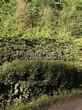Живая изгородь из хвойных растений Ель обыкновенная (Picea abies) - 102