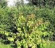 Живая изгородь из хвойных растений Ель обыкновенная (Picea abies) - 103