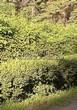 Живая изгородь из хвойных растений Ель обыкновенная (Picea abies) - 104