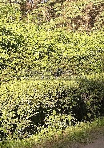 Живые изгороди: Ель обыкновенная, формирующая второй ярус живой изгороди (высота 3,5 метра, Московская область)
