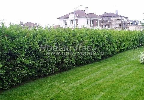 Живая изгородь из хвойных растений Туя западная Брабант (Thuja occidentalis 'Brabant')