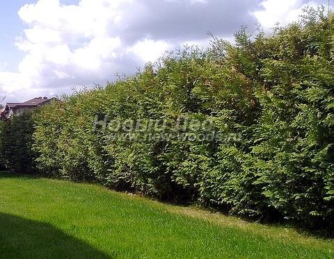 Живые изгороди: стриженая формируемая изгородь из хвойных растения Туя западная Брабант по границе участка (высота 4 метра, Подмосковье)