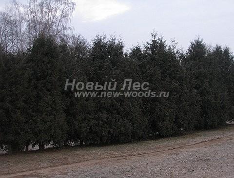 Живые изгороди: живая изгородь из свободно растущих туй Брабант (высота 5-6 метров, Московская область)
