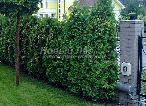Живая изгородь из хвойных растений Туя западная Колумна (Thuja occidentalis 'Columna')