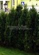 Живая изгородь из хвойных растений Туя западная Колумна (Thuja occidentalis 'Columna') - 101