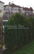 Живая изгородь из хвойных растений Туя западная Колумна (Thuja occidentalis 'Columna') - 103