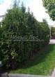Живая изгородь из хвойных растений Туя западная Колумна (Thuja occidentalis 'Columna') - 105