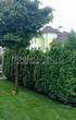 Живая изгородь из хвойных растений Туя западная Колумна (Thuja occidentalis 'Columna') - 106