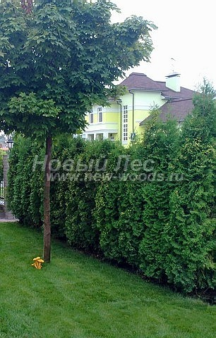 Живые изгороди: растения туи Колумна постепенно создающие единую стену (высота 2-2,5 метра, Подмосковье)