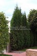 Живая изгородь из хвойных растений Туя западная Колумна (Thuja occidentalis 'Columna') - 108