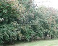 Живая изгородь из лиственных растений Клен татарский (Acer tataricum)