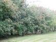 Живая изгородь из лиственных растений Клен татарский (Acer tataricum) - 101