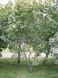 Живая изгородь из лиственных растений Клен татарский (Acer tataricum) - 102