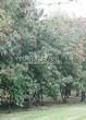 Живая изгородь из лиственных растений Клен татарский (Acer tataricum) - 103