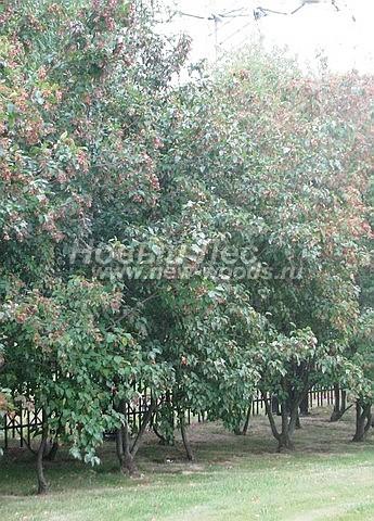 Живые изгороди: свободно растущие деревья Клёна татарского в изгороди (высота около 4 метров, Москва)