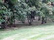 Живая изгородь из лиственных растений Клен татарский (Acer tataricum) - 104