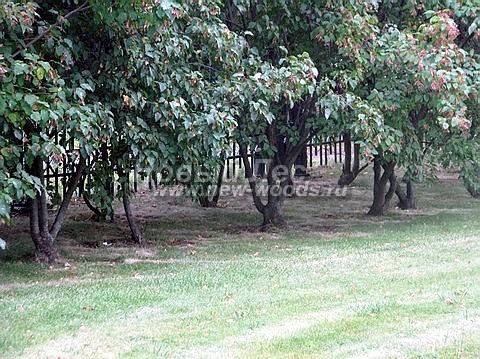 Живые изгороди: оголение нижнего яруса изгороди из Клена татарского без постоянной формирующей стрижки