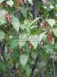 Живая изгородь из лиственных растений Клен татарский (Acer tataricum) - 105