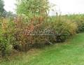 Живая изгородь из лиственных растений Барбарис обыкновенный (Berberis vulgaris)