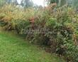Живая изгородь из лиственных растений Барбарис обыкновенный (Berberis vulgaris) - 101