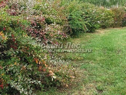 Живые изгороди: свободно растущая изгородь из растения Барбарис обыкновенный (не подвергается формирующей стрижке, Москва)
