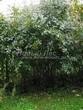 Живая изгородь из лиственных растений Барбарис обыкновенный (Berberis vulgaris) - 103