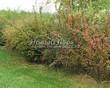 Живая изгородь из лиственных растений Барбарис обыкновенный (Berberis vulgaris) - 104