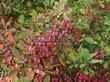 Живая изгородь из лиственных растений Барбарис обыкновенный (Berberis vulgaris) - 105