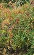Живая изгородь из лиственных растений Барбарис обыкновенный (Berberis vulgaris) - 106