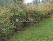 Живая изгородь из лиственных растений Барбарис обыкновенный (Berberis vulgaris) - 107