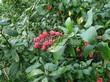 Живая изгородь из лиственных растений Барбарис обыкновенный (Berberis vulgaris) - 108