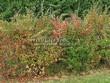 Живая изгородь из лиственных растений Барбарис обыкновенный (Berberis vulgaris) - 109