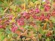Живая изгородь из лиственных растений Барбарис обыкновенный (Berberis vulgaris) - 110