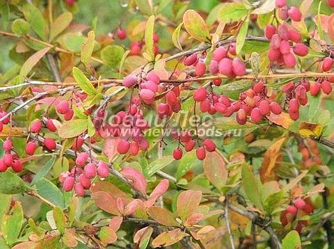 Живые изгороди: осенняя окраска листвы и плоды Барбариса обыкновенного (сентябрь, Московская область)