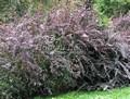 Живая изгородь из лиственных растений Барбарис оттавский Суперба (Сьюперба) (Berberis x ottawensis 'Superba')