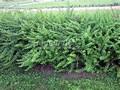Живая изгородь из лиственных растений Барбарис Тунберга (Berberis thunbergii)