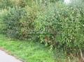 Живая изгородь из лиственных растений Бересклет европейский (Euonymus europaeus)