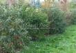 Живая изгородь из лиственных растений Бересклет европейский (Euonymus europaeus) - 101