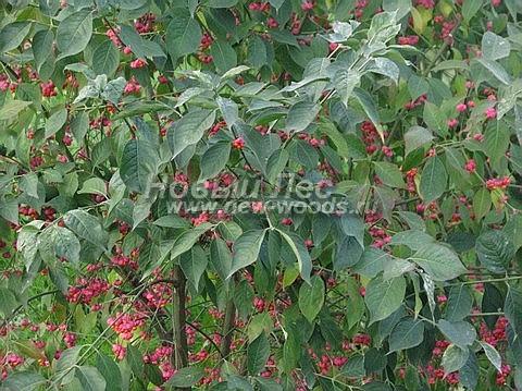 Живые изгороди: декоративный вид Бересклета европейского (август)