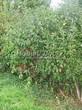 Живая изгородь из лиственных растений Бересклет европейский (Euonymus europaeus) - 103