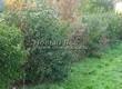 Живая изгородь из лиственных растений Бересклет европейский (Euonymus europaeus) - 104