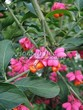 Живая изгородь из лиственных растений Бересклет европейский (Euonymus europaeus) - 105