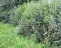 Живая изгородь из лиственных растений Бирючина обыкновенная (Ligustrum vulgare)