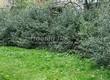 Живая изгородь из лиственных растений Бирючина обыкновенная (Ligustrum vulgare) - 101