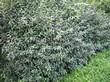 Живая изгородь из лиственных растений Бирючина обыкновенная (Ligustrum vulgare) - 102