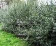 Живая изгородь из лиственных растений Бирючина обыкновенная (Ligustrum vulgare) - 103