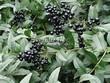 Живая изгородь из лиственных растений Бирючина обыкновенная (Ligustrum vulgare) - 104