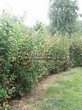 Живая изгородь из лиственных растений Бирючина обыкновенная (Ligustrum vulgare) - 105