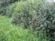 Живая изгородь из лиственных растений Бирючина обыкновенная (Ligustrum vulgare) - 106