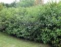 Живая изгородь из лиственных растений Дерен белый (Кизил белый) (Cornus alba)